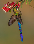 Ecuador, Andean cloud forest, violet-tailed sylph (Aglaiocercus coelestis)