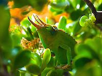 A male Jackson's chameleon sits like a king on a succulent plant, Hualalai, Big Island.