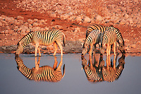 Plains Zebras (Equus quagga), group drinking, Namibia, Africa