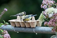 Blaumeise und Kohlmeise (im Hintergrund), Eierkarton, Eierschachtel, Eierpappe, Eierpappen wird mit Vogelfutter gefüllt und mit Kabelbindern am Geländer, Balkongeländer fixiert. Einweg-Futterschale, wenn die Pappe verschmutzt ist, kann sie einfach entsorgt und durch eine neue ersetzt werden. Vogelfütterung, Futterstelle auf dem Balkon, Dachterrasse. Blau-Meise, Meise, Meisen, Cyanistes caeruleus, Parus caeruleus, blue tit, tit, tits, La Mésange bleue