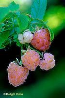 HS34-011b   Raspberries - Fall Gold variety