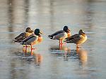 Male and female mallard ducks on ice.