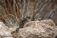 1117-0801  White-tailed Antelope Ground Squirrel, Ammospermophilus leucurus © David Kuhn/Dwight Kuhn Photography