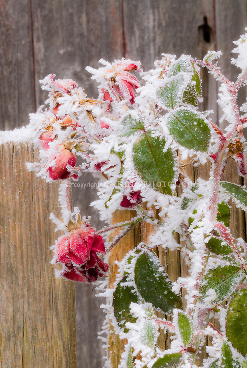 Rose bush in winter frost snow (Rosa) . Rime on edges