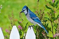 Blue Jay (Cyanocitta cristata) sitting on picket fence in garden. Autumn. Nova Scotia, Canada.