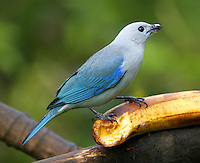 Male blue-gray tanager