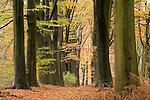 Europa, DEU, Deutschland, Nordrhein Westfalen, NRW, Rheinland, Niederrhein, Geldern, Naturschutzgebiet Fleuthkuhlen, Wald, Herbst, Buchenwald, Baeume, Buchen, Allee, Baumallee, Kategorien und Themen, Natur, Umwelt, Landschaft, Jahreszeiten, Stimmungen, Landschaftsfotografie, Landschaften, Landschaftsphoto, Landschaftsphotographie, Naturschutz, Naturschutzgebiete, Landschaftsschutz, Biotop, Biotope, Landschaftsschutzgebiete, Landschaftsschutzgebiet, Oekologie, Oekologisch, Typisch, Landschaftstypisch, Landschaftspflege....[Fuer die Nutzung gelten die jeweils gueltigen Allgemeinen Liefer-und Geschaeftsbedingungen. Nutzung nur gegen Verwendungsmeldung und Nachweis. Download der AGB unter http://www.image-box.com oder werden auf Anfrage zugesendet. Freigabe ist vorher erforderlich. Jede Nutzung des Fotos ist honorarpflichtig gemaess derzeit gueltiger MFM Liste - Kontakt, Uwe Schmid-Fotografie, Duisburg, Tel. (+49).2065.677997, ..archiv@image-box.com, www.image-box.com]