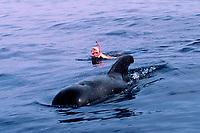 snorkeler and short-finned pilot whale, Globicephala macrorhynchus, Hawaii, Pacific Ocean