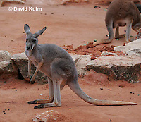 0906-0818  Red Kangaroo, Macropus rufus  © David Kuhn/Dwight Kuhn Photography.