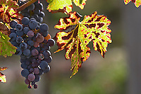Bunches of ripe grapes. Vine leaf. Cabernet Franc. Chateau Paloumey, Haut Medoc, Bordeaux, France.