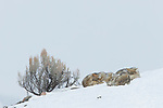 Coyote (Canis latrans) pack sleeping in winter, Lamar Valley, Yellowstone National Park, Wyoming