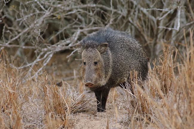 """Adult Collared Peccary or """"javelina"""" (Pecari tajacu). Willacy County, Texas. March."""