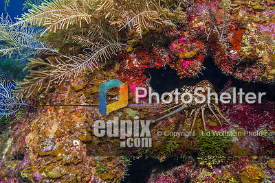 9 June 2015: A Caribbean Spiny Lobster (Panulirus argus) emerges from a crevice on the coral reef at Spanish Bay Reef, on the North Shore of Grand Cayman Island. Located in the British West Indies in the Caribbean, the Cayman Islands are renowned for excellent scuba diving, snorkeling, beaches and banking.  Mandatory Credit: Ed Wolfstein Photo *** RAW (NEF) Image File Available ***