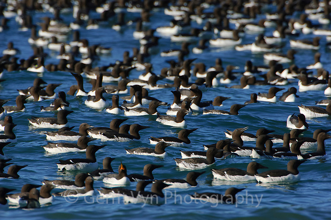 Raft of courting adult Common Murres (Uria aalge). Murres assemble in large, noisy rafts adjacent to nesting cliffs prior to nesting. Duck Island, Alaska. June.
