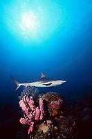 Caribbean reef shark, Carcharhinus perezii, Nassau, Bahamas, Caribbean (W. Atlantic)