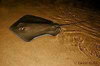 0130-08ww  Southern stingray, Dasyatis americana © David Kuhn/Dwight Kuhn Photography