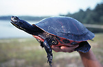 Plymouth Red-Belly Cooter adult held in biologists hand