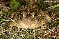 0602-0920  Fowler's Toad, Anaxyrus fowleri [syn: Bufo fowleri (Bufo woodhousii fowleri)]  © David Kuhn/Dwight Kuhn Photography