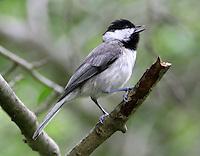 Adult Carolina chickadee singing