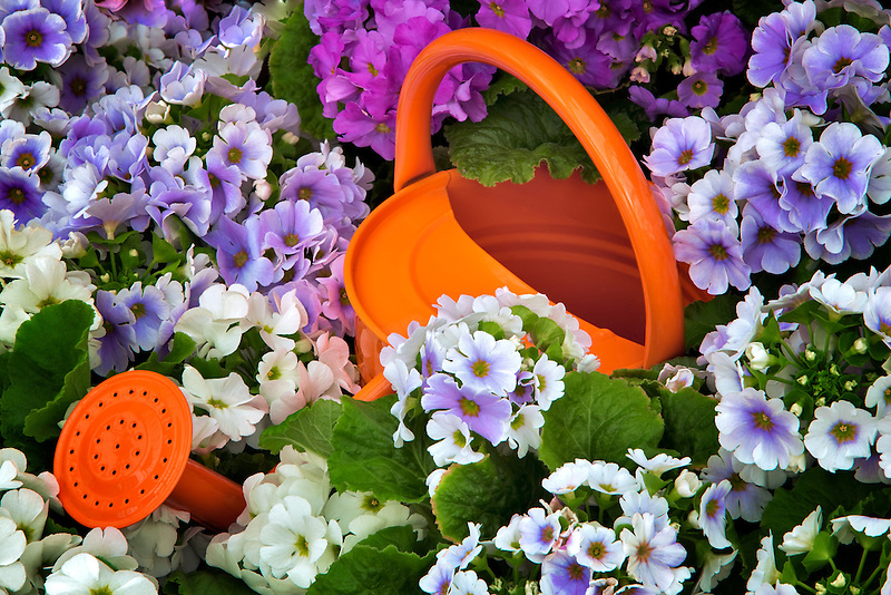 Watering can in field of Obconica Primrose flowers. Oregon