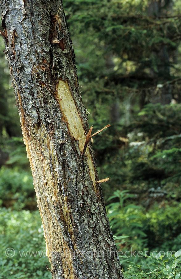 Elch hat Rinde von Kiefer geschält und gefressen, Sommerschälung, Schälung an Kiefer, Fraßspur, Frass-Spur, Wildschaden, Alces alces, Elk, Elan