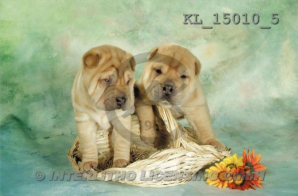 Interlitho, Alberto, ANIMALS, dogs, photos, 2 shar peis, basket(KL15010/5,#A#) Hunde, perros