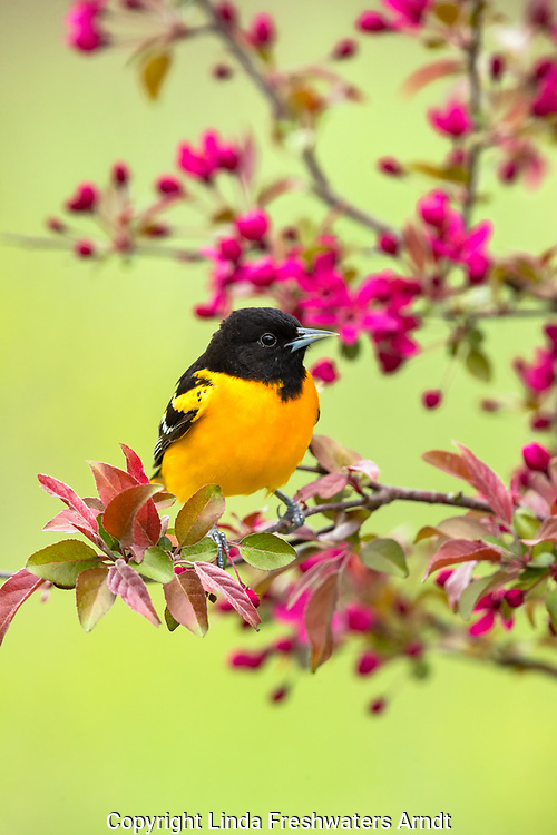 Male Baltimore oriole perched in a flowering crabapple tree