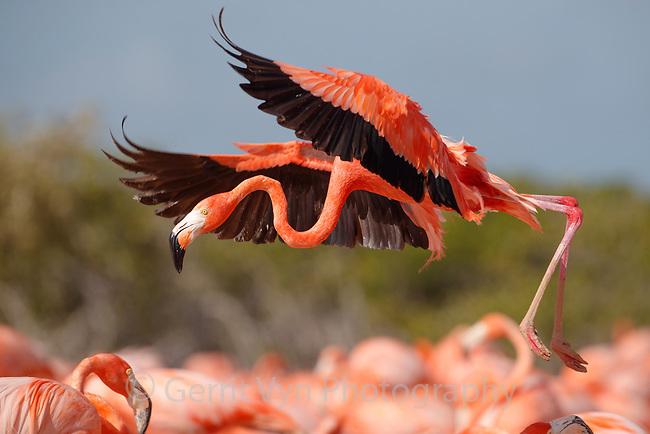 American Flamingo (Phoenicopterus ruber) landing in a nesting colony. Yucatan, Mexico.