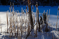 Cattails in Lilypad Pond in winter in the Adirondack Mountains in New York State