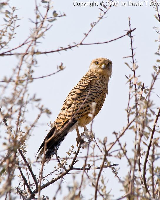 Greater Kestrel, Etosha NP, Namibia