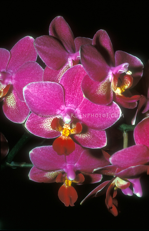 Pink orchid flowers of Phalaenopsis (aka Doritaenopsis ) Wossner Pixie small multifloral type