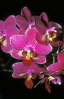 Pink orchid flowers of Phalaenopsis (aka Doritaenopsis ) Wossner Pixie small multifloral type