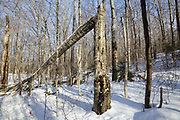 Franconia Notch State Park - Snapped birch tree in the area known as Hardwood Ridge in Lincoln, New Hampshire USA during the winter months