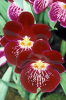 Miltoniopsis Celle - waterfall type Pansy Orchid hybrid Miltonia