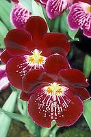 Miltoniopsis Celle - waterfall type Pansy Orchid hybrid Miltonia