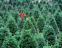 Grand fir Christmas trees with red bow on one. Near Alpine, Oregon.
