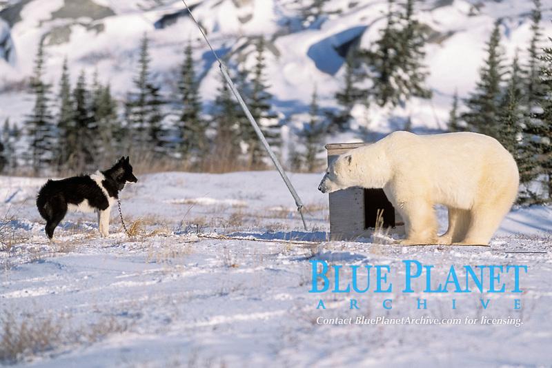 adult, male polar bear, Ursus maritimus, approaches Alaskan husky dog, Canis lupus familiaris, Hudson Bay, Manitoba, Canada, Arctic, polar bear, Ursus maritimus