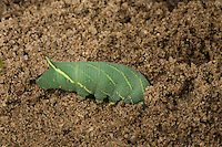 Pappelschwärmer, Raupe gräbt sich zum Verpuppen, zur Verpuppung in die Erde ein, Pappel-Schwärmer, Laothoe populi, Sphinx populi, Poplar Hawk-moth, Poplar Hawkmoth, caterpillar, Le sphinx du peuplier, Schwärmer, Sphingidae, Hawkmoths, hawk moths, sphinx moths