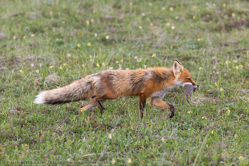 Red fox carries a ground squirrel and vole, Denali National Park, Alaska.