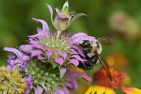 Carpenter Bee (Xylocopa virginica), adult feeding on Lemon beebalm (Monarda citriodora), Hill Country, Central Texas, USA