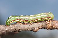 A Major Sallow Moth (Feralia major) caterpillar moves across a twig.