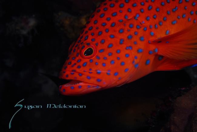Leopard Coral Grouper , Plectopomus leopardus, Underwater macro marine life images;  Photographed in Tulamben; Liberty Resort; Indonesia.Underwater Macro Photographer on FB 2nd Annual event