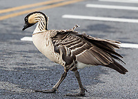 Nene Crossing: A nene, or native Hawaiian goose, crosses the road to join its family, Hawai'i Volcanoes National Park, Big Island.