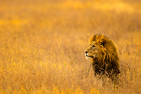 Beautiful lion portrait with his head above blurred yellow savanna grass in Masai Mara national park, at the border of Kenya and Tanzania, in Africa