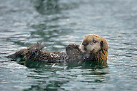Alaskan or Northern Sea Otter (Enhydra lutris) pup on bleak winter day.  Alaska.