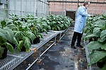 October 19, 2011. Raleigh, NC.. Dr. Michael R. Moynihan, the Vice President of R&D for 22nd Century Group Inc., looks over tobacco plants being grown in partnership with NC State University that have modified levels of nicotine content. Dr. Moynihan's goal is to create a low nicotine tobacco to help people quit smoking..