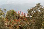 Krantz Aloe (Aloe arborescens) flowering in fynbos, Kaapsehoop, South Africa
