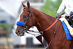 May 15, 2015: Preakness contender Dortmund heads to the track for his morning exercise the day before the big race. Friday morning Preakness preparations at Pimlico Race Course in Baltimore, MD. Joan Fairman Kanes/ESW/CSM