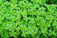 Sedum makinoi Limelight plant portrait of foliage succulent leaves
