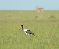 Saddle-billed Stork feeding, with Common Eland in the background, Masai Mara